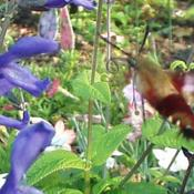 With hummingbird moth.
