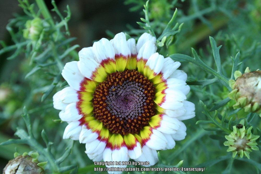 Photo of Painted Daisy (Ismelia carinata) uploaded by 4susiesjoy