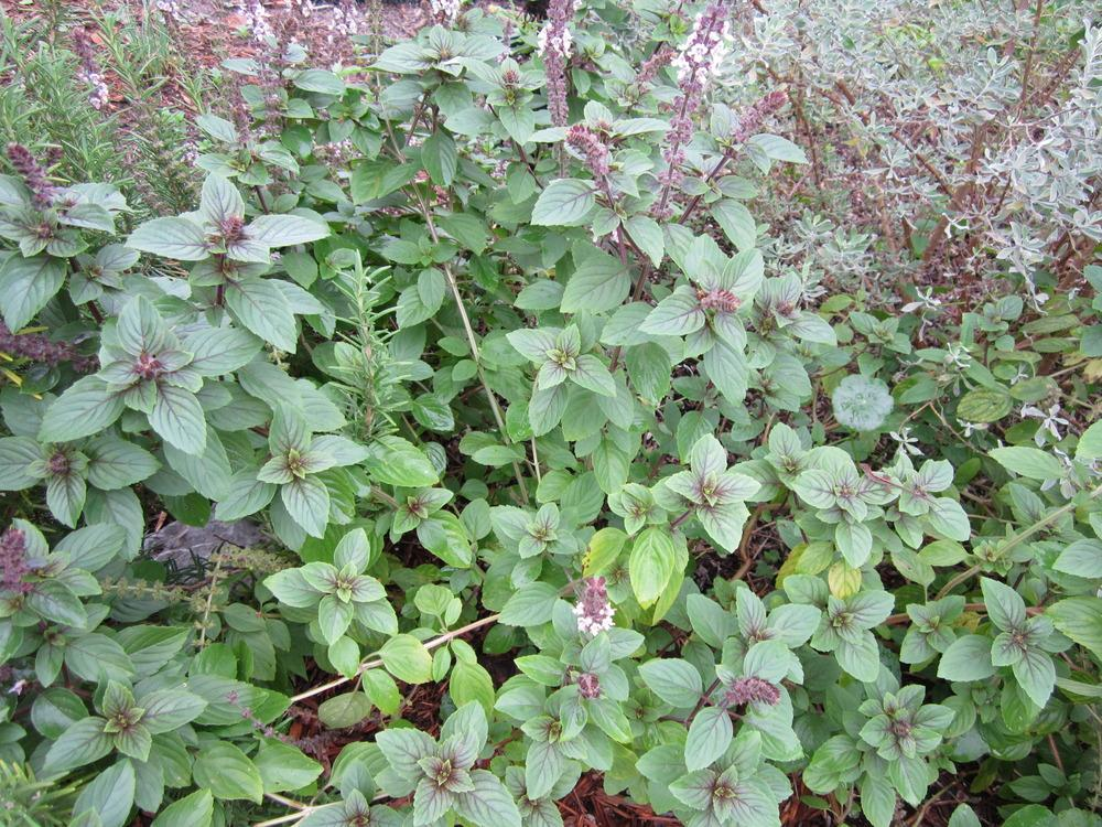 Photo of African Blue Basil (Ocimum 'African Blue') uploaded by terrafirma