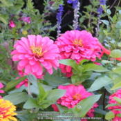 Location: My garden in KentuckyDate: 2013-09-24Color is too pink than the actual color in the pic
