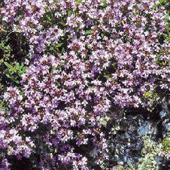 Photo of Creeping Thyme (Thymus serpyllum) uploaded by vic