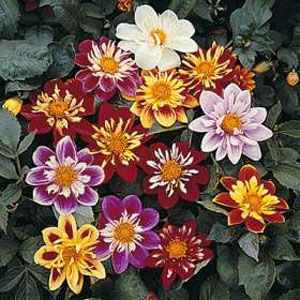 Photo of Dahlia 'Dandy' uploaded by vic
