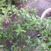 Location: My garden in Northern KYDate: 2013-09-24In a container and waiting for it to bloom
