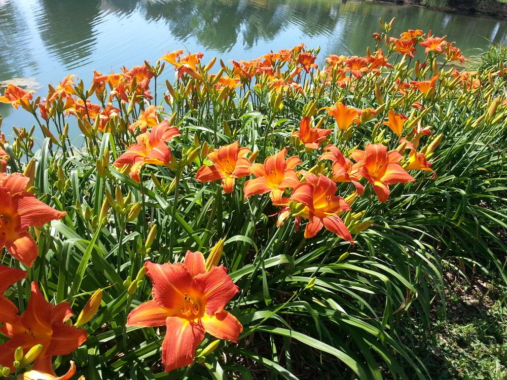 Photo of Daylily (Hemerocallis 'Orange Vols') uploaded by TammyB