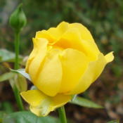 Location: Garland (Dallas), TXDate: 2013-10-01Will continue to throw out blooms into December.