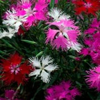 Photo of Fringed Pink (Dianthus superbus subsp. alpestris) uploaded by vic