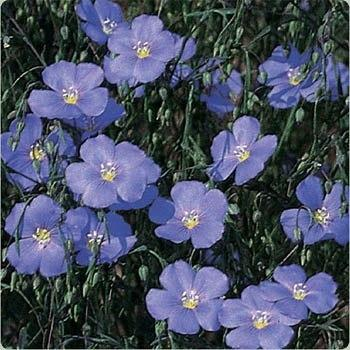 Photo of Wild Blue Flax (Linum lewisii) uploaded by vic