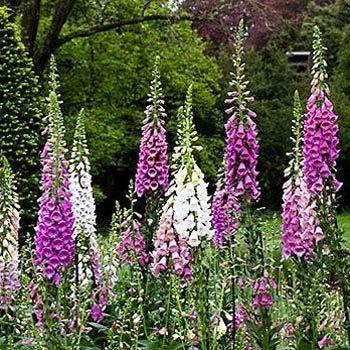 Photo of Foxglove (Digitalis purpurea 'Excelsior Group') uploaded by vic