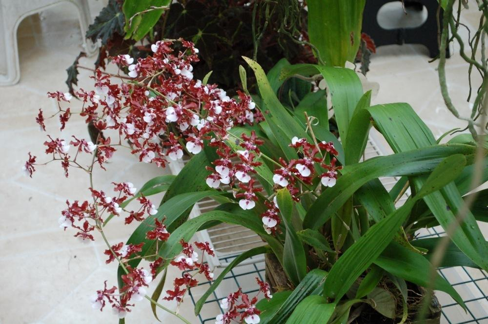 Photo Of The Bloom Of Chocolate Orchid Oncidium Sharry