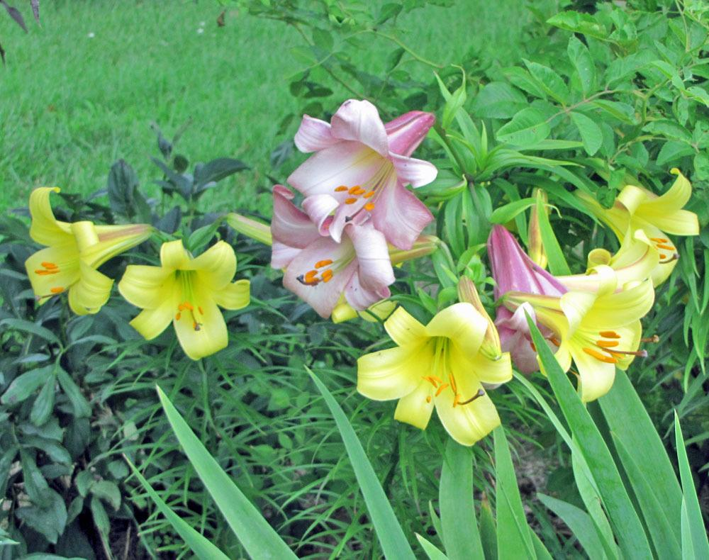 Photo of Lilies (Lilium) uploaded by TBGDN