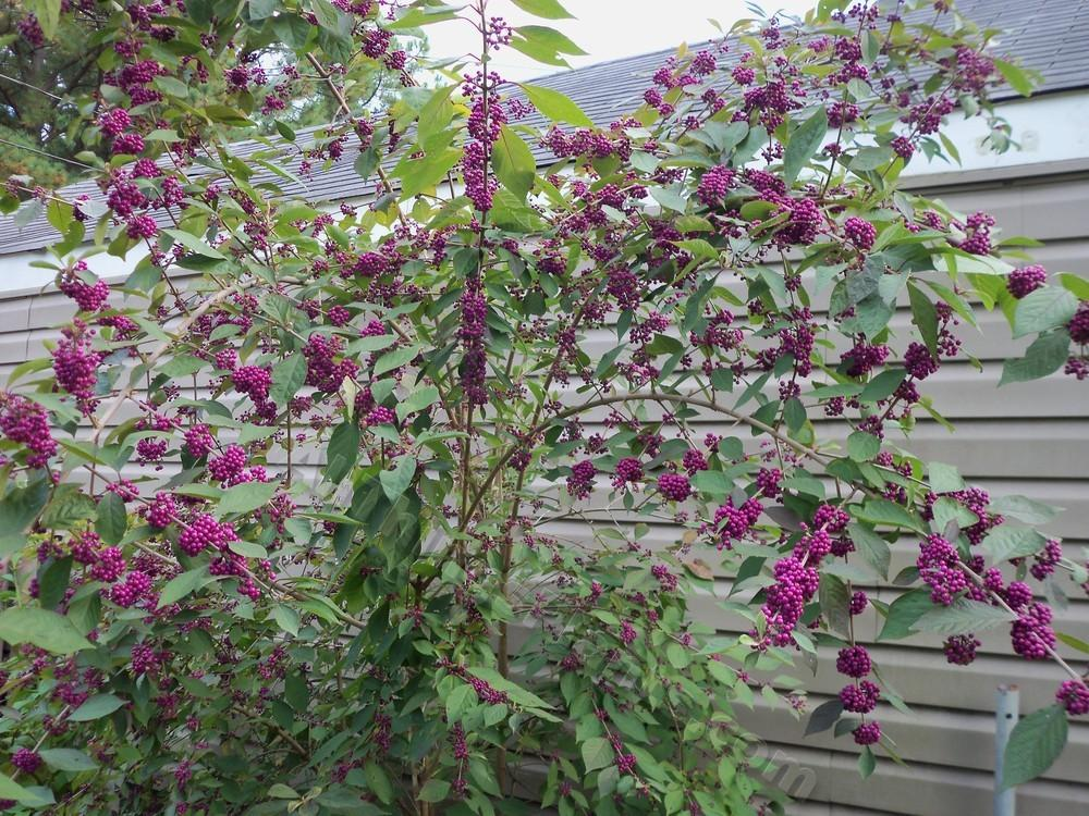photo of the entire plant of beautyberry callicarpa. Black Bedroom Furniture Sets. Home Design Ideas