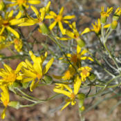 Location: Elephant Butte, NMDate: 10/11/2013lots of fine white hairs make the stems and leaves appear sage gr