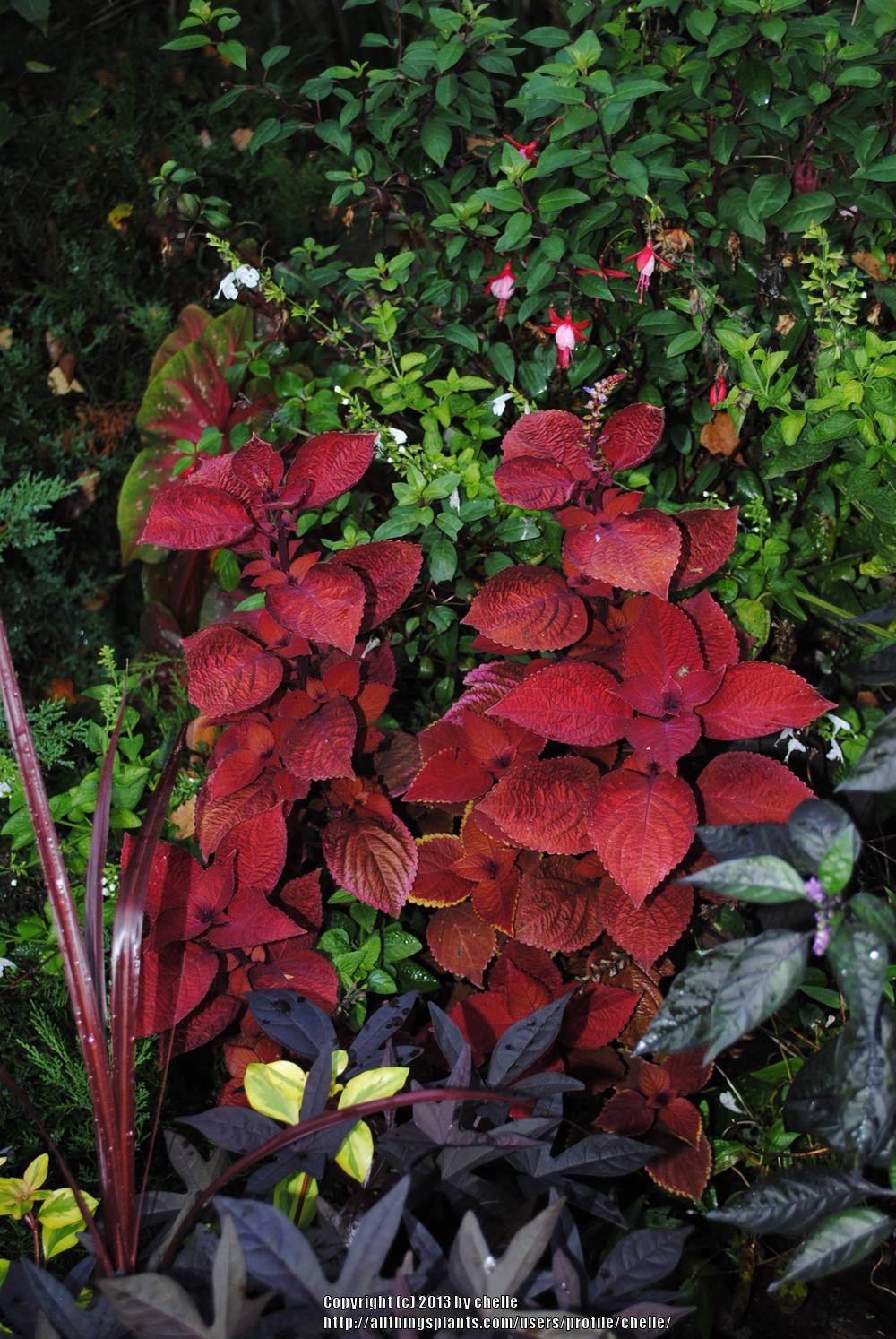Photo of Coleus (Coleus scutellarioides ColorBlaze® Keystone Kopper™) uploaded by chelle