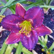 Location: northern california zone 9bDate: 2013-06-24Dark Mosaic, color is changeable in my garden