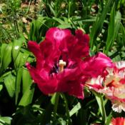 Location: Long Island, NY Date: 2013-05-10red parrot tulip