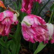 Location: Long Island, NY Date: 2013-05-10Parrot tulips