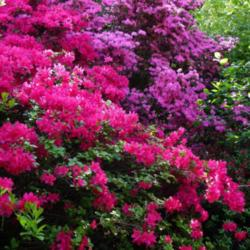 A Photo Tour of the Best Rhododendron Photos on ATP