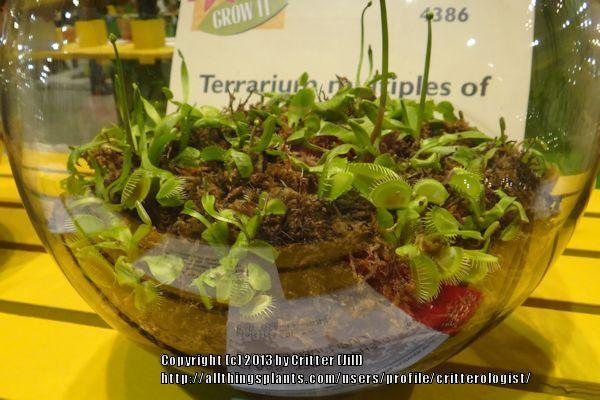 Photo of Venus Fly Trap (Dionaea muscipula) uploaded by critterologist