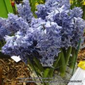 Location: 2012 Philadelphia Flower ShowDate: 2012-03-06a less intense color than 'Blue Jacket', definitely the