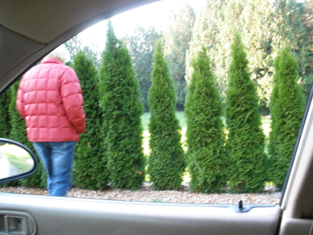 Plant Id Forum Trees Or Very Tall Skinny Bushes To