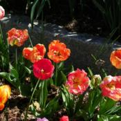 Location: Long Island, NY Date: 2013-05-02parrot tulips