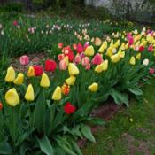 Location: Long Island, NY Date: 2013-04-30mixed darwin tulips closed on a cloudy day