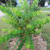 Location: NE., Fl.Date: 2013-10-11 A young tree generously donated, I'm guessing from a bird droppin
