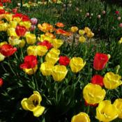 Location: Long Island, NY Date: 2013-04-28mixed colors of darwin tulips