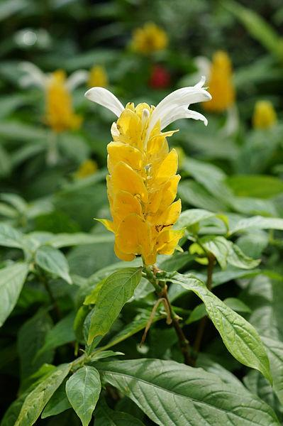 Photo of Golden Shrimp Plant (Pachystachys lutea) uploaded by robertduval14