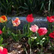 Location: Long Island, NY Date: 2013-04-28parrot tulips