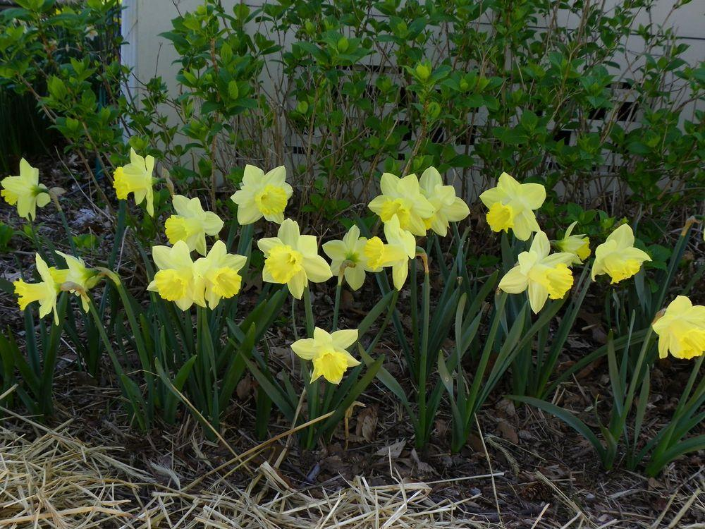 Photo of Daffodils (Narcissus) uploaded by Newyorkrita