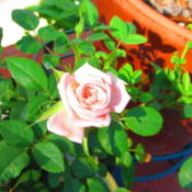 Location: central IllinoisDate: 2013-08-31miniature rose