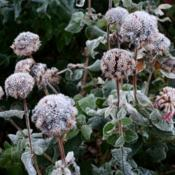 Location: Denver Metro CODate: 2013-10-21The seed heads in a very frozen state this morning.
