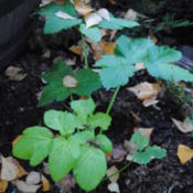 Location: My Northeastern Indiana Gardens - Zone 5bDate: 2013-10-22Basal rosette of a first year plant.