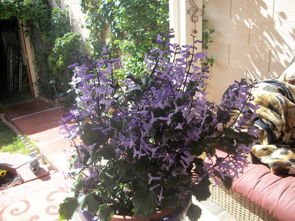 Picture of Live Velvet Elvis Swedish Ivy aka Plectranthus Velvet Elvis Plant Fit 1 QRT Pot