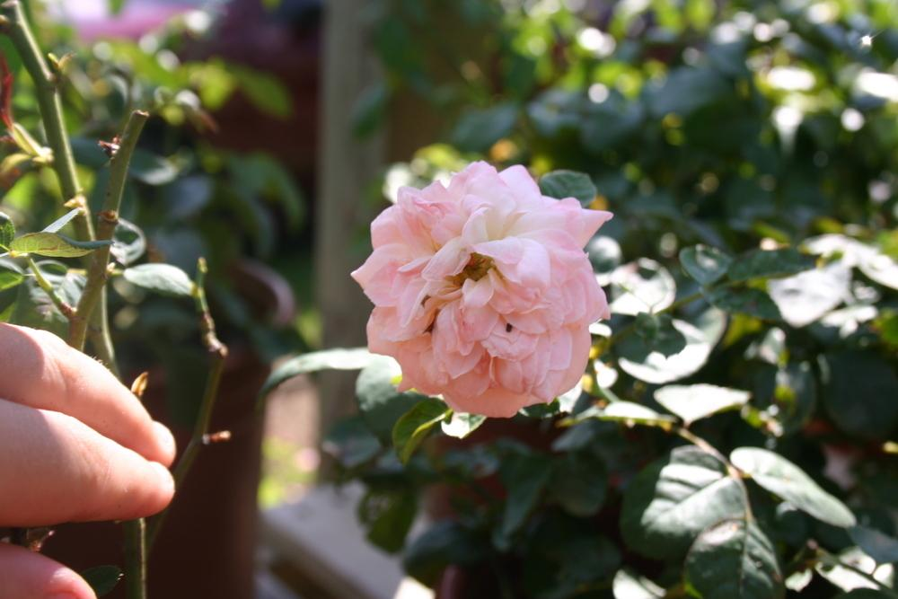 Photo of Rose (Rosa 'Zephirine Drouhin') uploaded by jon