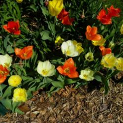 Emperor Tulips Truly Are Perennial