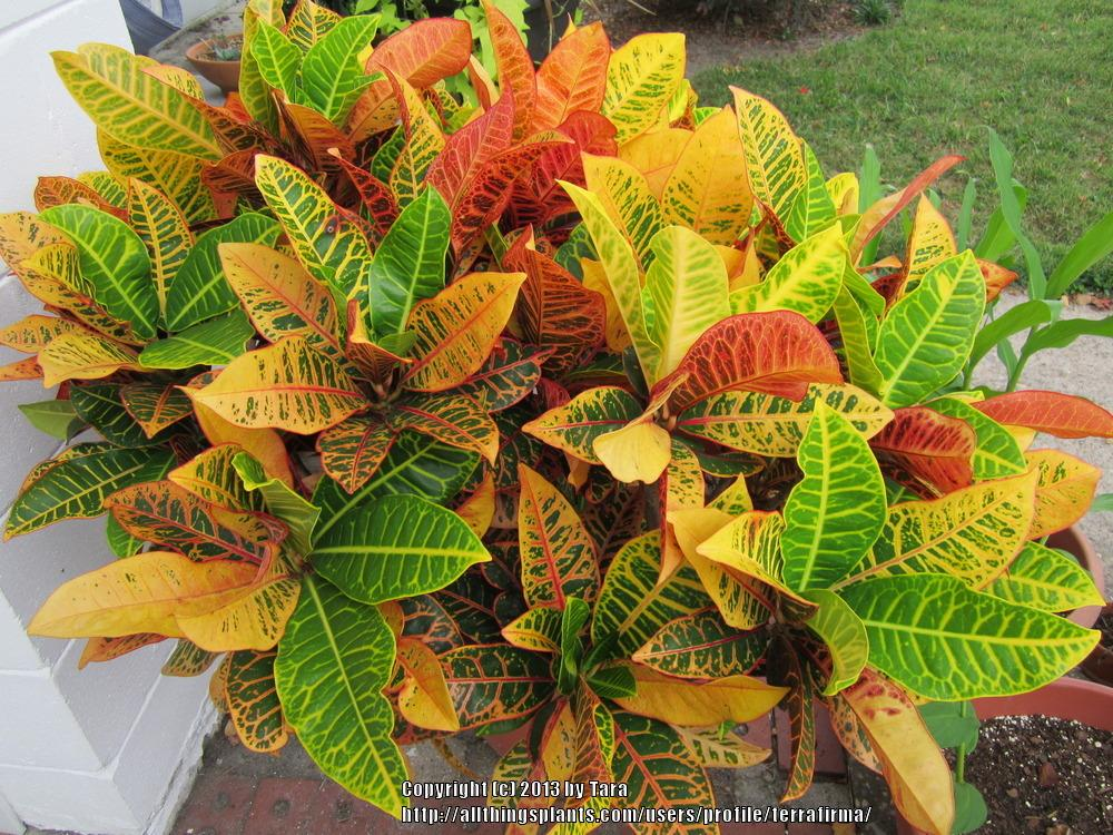 Photo of Croton (Codiaeum variegatum 'Petra') uploaded by terrafirma