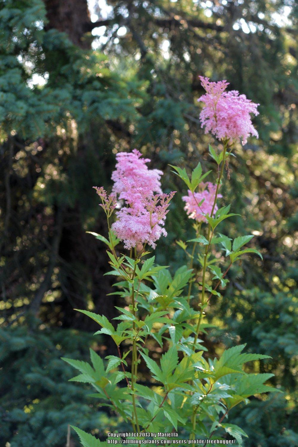 photo of the bloom of queen of the prairie filipendula rubra posted by treehugger. Black Bedroom Furniture Sets. Home Design Ideas