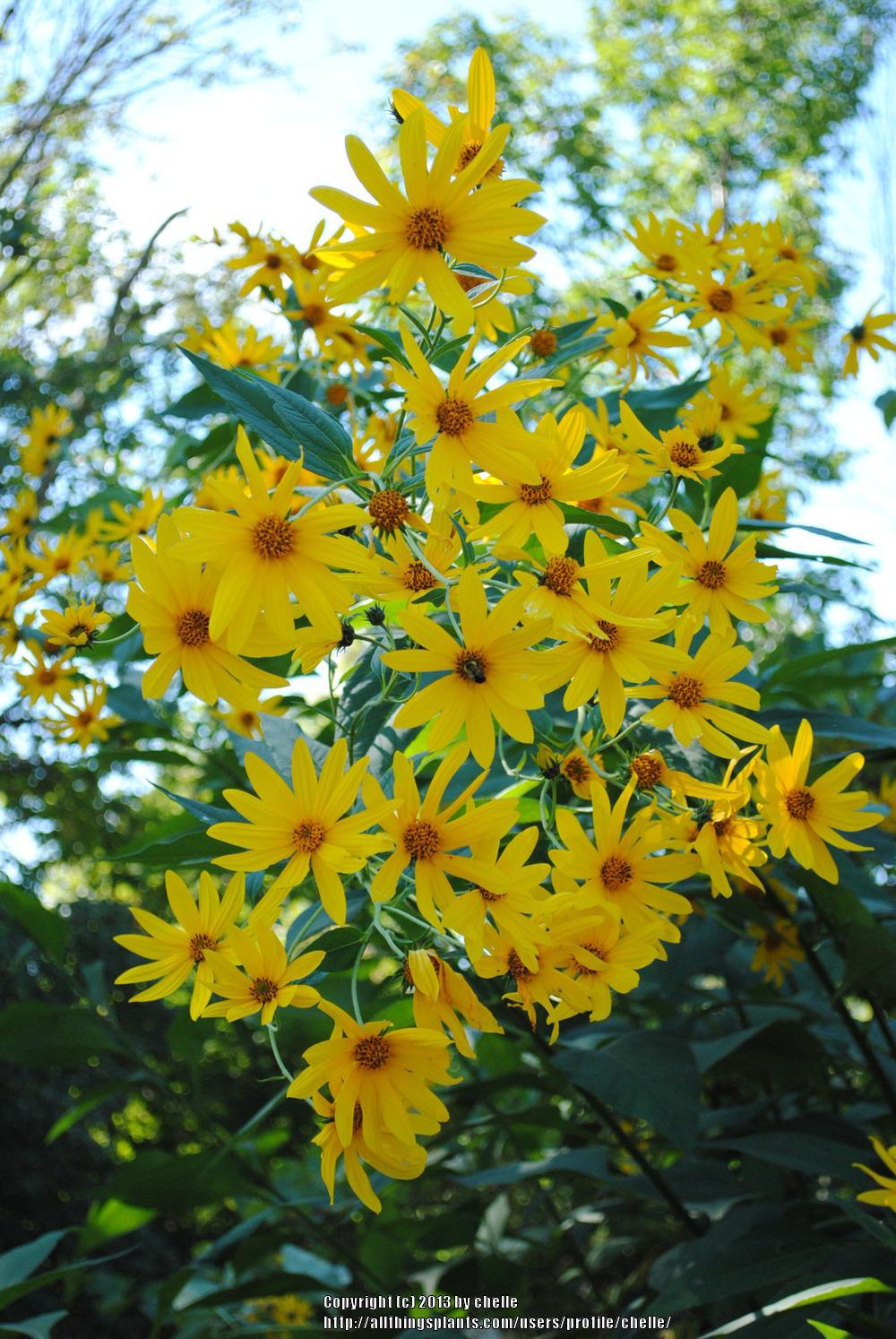 Photo of Sunroots (Helianthus tuberosus) uploaded by chelle