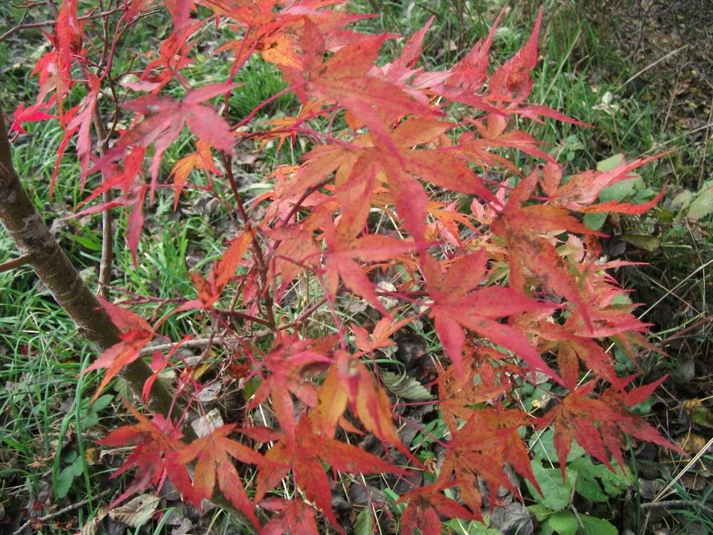Photo Of The Fall Color Of Japanese Maple Acer Palmatum