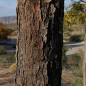 Location: Elephant Butte, NMDate: 2013/10/27bark with woodpecker/sapsucker holes