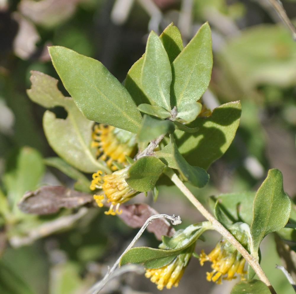 Photo of American tarwort (Flourensia cernua) uploaded by angele