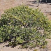 Location: Elephant Butte, NMDate: 2013/10/27Found 3 of these shrubs growing in close proximity to m