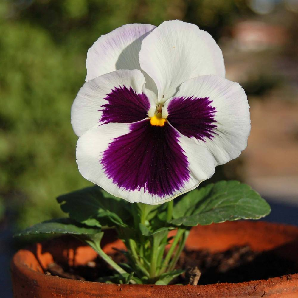 Photo of Pansy (Viola x wittrockiana 'Majestic Giant II, White with Blotch') uploaded by angele
