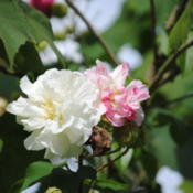 Location: Prairieville, LADate: 2013-10-29Sometimes the blooms  do not turn completely pink, but