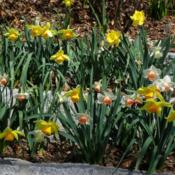 Location: Long Island, NY Date: 2013-04-14mix of trumpet daffodils