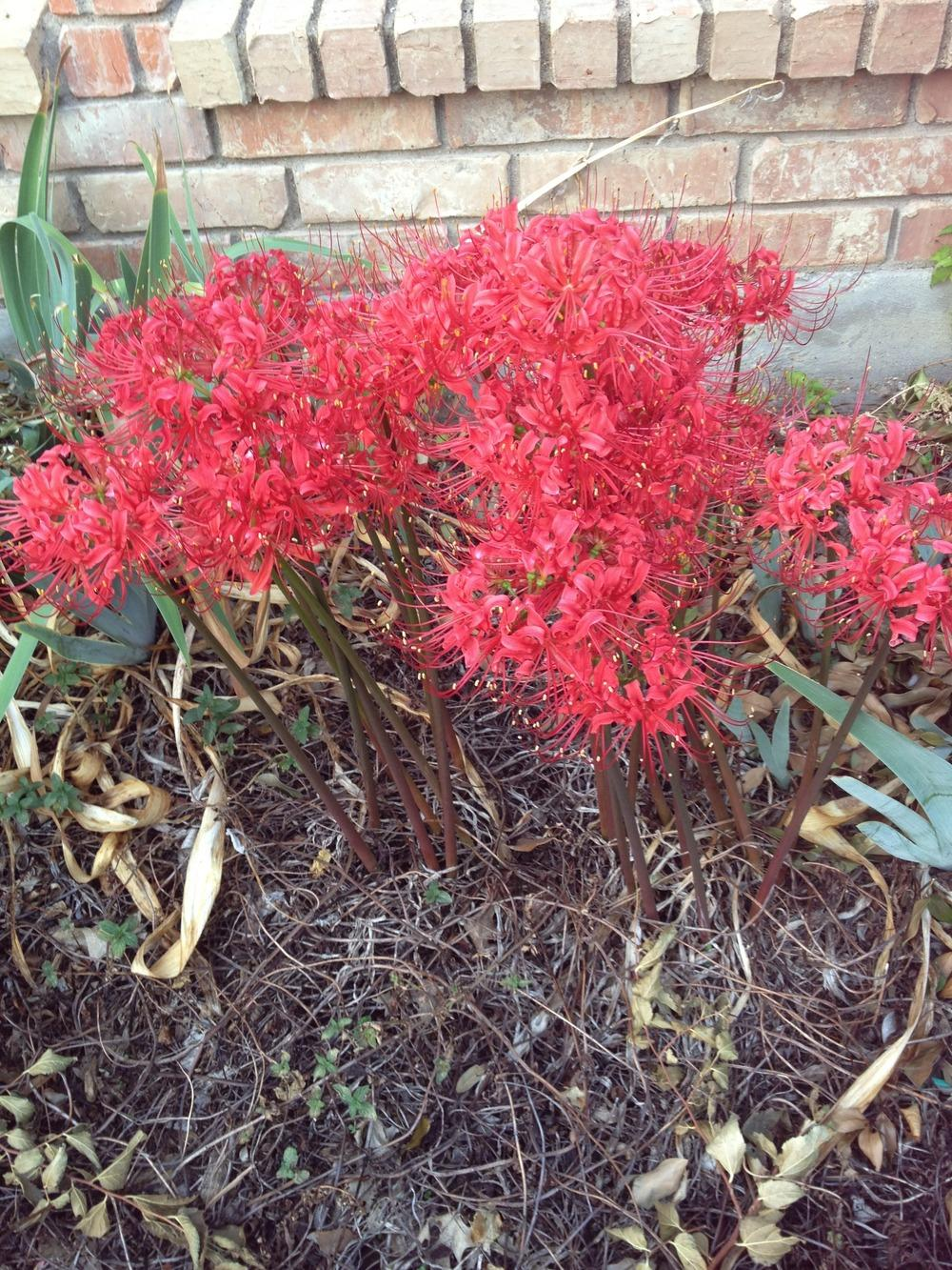 Photo of Red Spider Lily (Lycoris radiata) uploaded by Rabelch