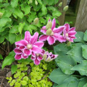 Location: Dog's pen (outside) on gate side.Date: 2013-05-24It's the exuberance of this clematis, as it leaps into