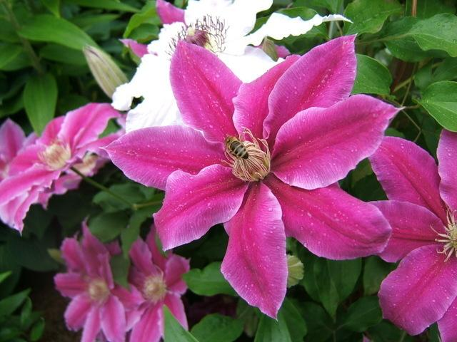 photo of the bloom of clematis 39 dr ruppel 39 posted by pirl. Black Bedroom Furniture Sets. Home Design Ideas